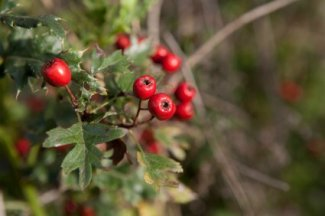 Hawthorne Berry, Herbs for High Blood Pressure http://www.info-on-high-blood-pressure.com/herbs-for-high-blood-pressure.html