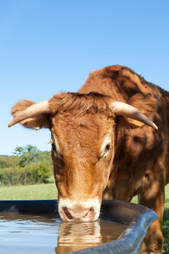 Cow drinking water,  https://www.info-on-high-blood-pressure.com/Losing-Weight.html