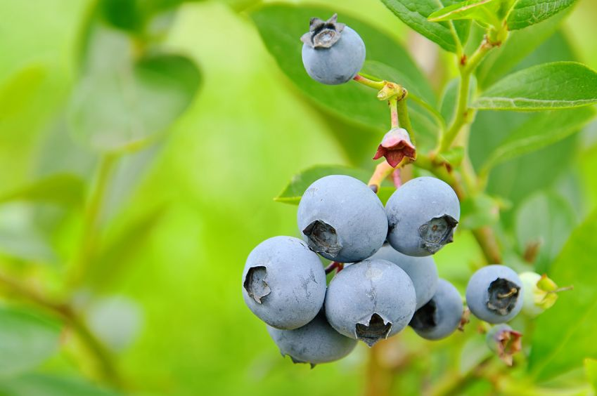 Bunch of blueberries. https://www.info-on-high-blood-pressure.com/Blueberries-And-Cardiovascular-Benefit.html